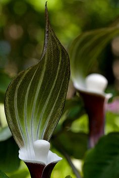 Jack-in-the-Pulpit. :) These were all over our forest floor in the spring back home. I love them.