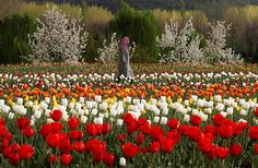 A Kashmiri woman walks in a tulip garden on the outskirts of Srinagar, India. Kashmir, known for its mountains, lakes, forests and moderate weather was one of Asias most popular tourist destinations until a Muslim separatist rebellion broke out in the region in 1989 which has claimed more than 60,000 lives