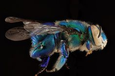 """pheanuxreyesing: """" """" Macro bee portraits by Sam Droege. Used to distinguish and catalog the thousands of bee species in North America. Insect Photography, Animal Photography, Portrait Photography, Bees And Wasps, A Bug's Life, Colossal Art, Blue Orchids, Bugs And Insects, Bees Knees"""