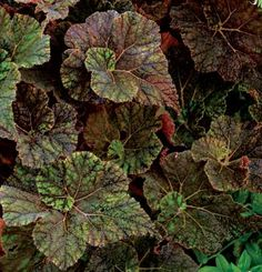 (Begonia 'Cowardly Lion') Genus: Begonia - Unlike many other shade garden plants with their cool blue colors, 'Cowardly Lion' rex begonia offers rich warm tones. Chocolate-colored leaf veins veil the golden leaves, which become darker with age and make a fine counterpoint to yellow-based foliage plants.
