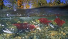 The Pacific's Salmon Are Back — Thank Human Ingenuity | National Review Online