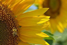 bee over sunflower - null