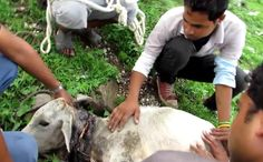 Amazing Rescue of an Injured Calf From a Garbage Dump in India (VIDEO)