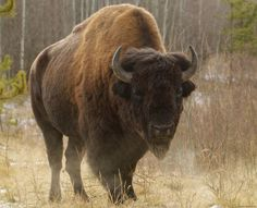 The North American bison, or buffalo, is the largest land animal in North America. A bull can stand 2 m high and weigh more than a tonne. Female bison are smaller than males. A bison has curved black horns on the sides of its head, a high hump at the shoulders, a short tail with a tassel, and dense shaggy dark brown and black hair around the head and neck. Another distinctive feature of the buffalo is its beard.
