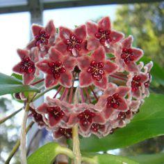 Hoya globulifera Cutting IML 1063 [1063x] - $10.00 : Buy Hoya Plants Online in Many Species from SRQ Hoyas Today!
