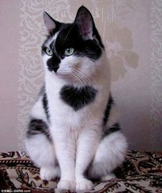 The purrr-fect Valentine's! Lonely stray cat with a big HEART on his chest has found a loving new home   http://www.dailymail.co.uk
