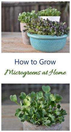 Growing microgreens at home is very easy. They make great indoor plants and are also edible in salads and sandwiches #groiwingmicrogreens