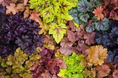 How to Grow Colorful Coral Bells in Your Garden is part of Coral bells plant - Heuchera plants have come a long way from the traditional coral bells Use these growing tips for these widely adaptable, colorful foliage plants Garden Shrubs, Garden Trees, Shade Garden, Trees To Plant, Coral Bells Plant, Coral Bells Heuchera, Trees For Front Yard, Front Yards, Bell Gardens