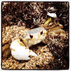 Atlantic ghost crab, Canaveral national seashore