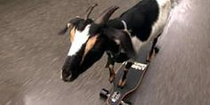 He was a skater goat he said see ya later goat Funny Cute, Hilarious, Quizzes Funny, Funny Animals, Cute Animals, Ghost Of You, See Ya, Funny Video Clips, My Tho