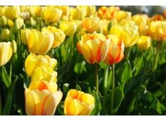 Tulipa Beauty of Spring - IO