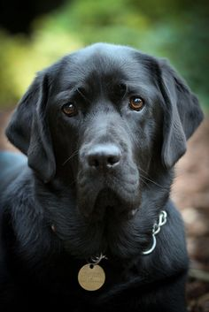 black labrador retriever @KaufmannsPuppy