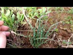 Anthericum tortile - Trachyandra tortilis - YouTube Rare Species, Bulbs, Perennials, Youtube, Garden, Plant, Lightbulbs, Garten, Bulb