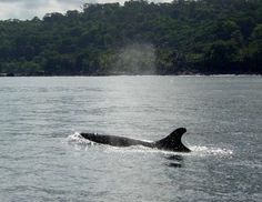 Friendly Pseudo Orcas - Picture of The Divine Dolphin, Drake Bay ...