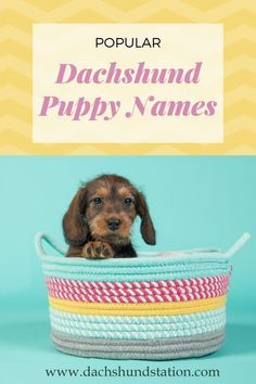 The Most Popular Dachshund Name Ideas For Boy And Girl Doxie Dogs