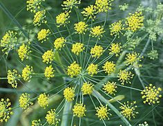 Fennel, good for digestion.   Also good for their nectar and pollen accessibility for beneficial insects.