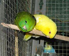 Coppietta di pappagallini barrati - Barred parakeet - Bolborhynchus lineola Parakeet, Parrot, Animals, Parrots, Birds, Parrot Bird, Parakeets