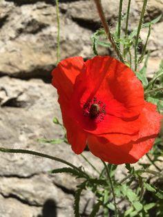 Poppies in Montpellier photoshoot Danielyan from Natalia
