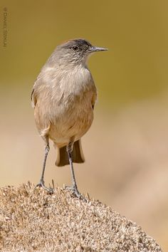 Puna ground tyrant (Muscisaxicola juninensis)