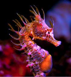 Short Head Seahorse (Hippocampus breviceps) - South Australia