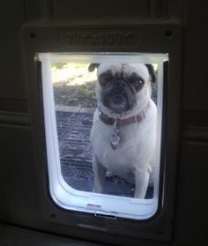 The Story of the Stubborn Pug and the Doggy Door