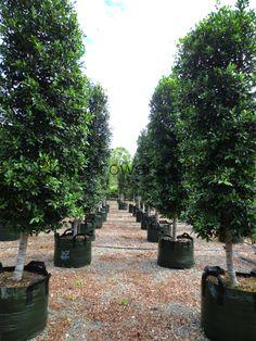 Ficus Hillii Hills Fig
