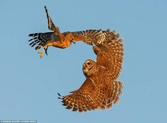 This Brave Mother Owl Takes On A Vicious Hawk To Save Her Nest (and kudos to the photographer!)