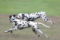 Dalmatians    Like and repin please :)