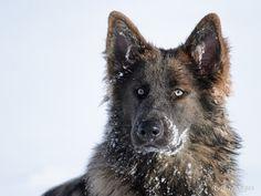 Joyce   Altdeutsche Schaferhunde - She is stunning