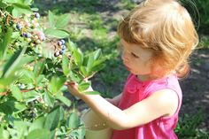 Best Brain Foods & How to Get Your Kids to Eat Them - Learning Liftoff Blueberry Picking, Blueberry Farm, Blueberry Season, Strawberry Picking, Pick Your Own Apples, Good Brain Food, Best Brains, Good Parenting, You Got This