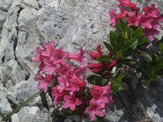 Wachstum zwischen Steinen: Alpenrose (Rhododendron hirsutum)