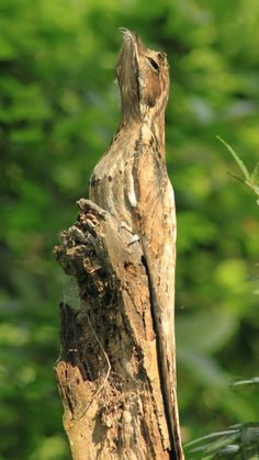 Common Potoo - Pataguay.  Camouflages bt pretending it's a tree branch.