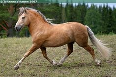 Finnhorse Ukkosen Poika. How beautiful is he!!! Pinned from http://www.sukuposti.net/hevoset/ukkosen-poika/galleria/167675#