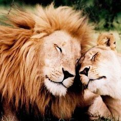 Lion with his Lioness Lion Pictures, Animal Pictures, Beautiful Cats, Animals Beautiful, Animals And Pets, Cute Animals, Lion Couple, Lion And Lioness, Lion Love
