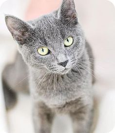 Doris.. russian blue