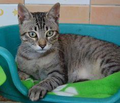 MAGNO - Gato adoptado - AsoKa el Grande