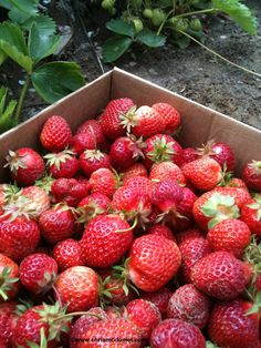 Oregon strawberries are the best, and even more wonderful if you pick them yourself.
