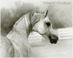 "A flea-bitten Arabian confection! "" Emigrant (Ararat - Emigrantka), bred by Michalow State Stud Farm, Poland. Owned by VALLEY OAK ARABIANS, Diana and Manny Vierra, CA""    Photo by: Wojtek Kwiatkowski - Equine Photography"