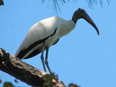Wood Stork Mycteria americana - Google Search