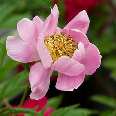 'Westerner' peony Paeonia 'Westerner' bears large pink flowers with yellow centers. It has strong stems and grows 34 inches tall. It was introduced in 1942. Zones 3-7
