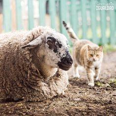 Sofía : Hola gatita! no estoy enojada es sólo una mancha en mi ojo  - - #equalitysanctuary #santuarioigualdad #animal #animallovers #animals #friendsnotfood #nature #farm #farmlife #farmanimals #crueltyfree #vegan #social #followme #nonprofit # #sheep #sheeplove #sheepofinstagram #cat #cats #catsagram #catstagram #instacat