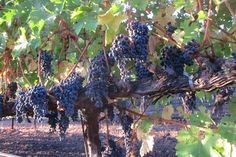 Some of the oldest Cabernet vines in the Napa Valley, ready to be picked at Grgich Hills Estate.