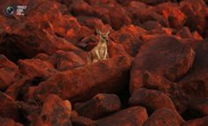 A kangaroo stands on iron ore boulders near the port of Dampier in the Pilbara region of Western Australia April REUTERS/Daniel Munoz Wonderful Picture, Weird And Wonderful, Beautiful Things, Australia Occidental, Australia Animals, Iron Ore, Adhd Kids, Being In The World, Western Australia