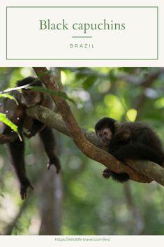 Black capuchin monkeys at the Iguazú National Park on the Argentinian side of the Iguazú Falls. Black capuchin monkeys live both on the Argentinian and Brazilian side. Iguazu National Park, National Parks, Wild Life, Rainforest Pictures, Toco Toucan, Iguazu Falls, Animal Species, Bus Driver, Wildlife Conservation