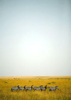 Zebras, Kenya. Ericlafforgue.com