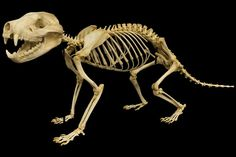 Tasmanian devil - museum of osteology