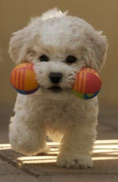 So cute! I want him! bichons