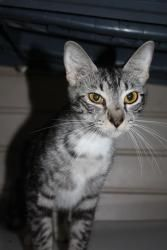 Heidi is an adoptable American Shorthair Cat in Windsor, NC. Hi! I'm Heidi! I am a beautiful Siamese mix with a long, slim body and a long tail. The volunteers named me Heidi because when I first came...