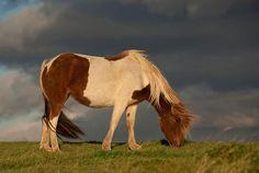 The Icelandic Horse by Þorsteinn H Ingibergsson