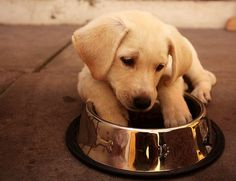 Lab Puppy Resolves to Eat Slower in New Year